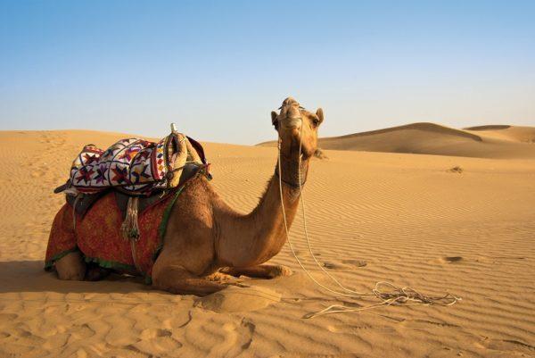 Kamel in der Wahiba Wüste