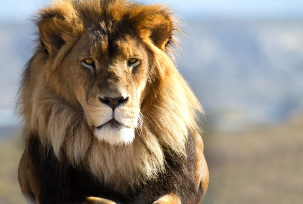 Löwe Namibia
