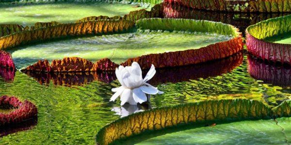 Seerosen im Sir Seewoosagur Ramgoolam Botanischer Garten